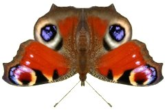 Pictures of peacock butterflies Christian photo greeting cards - make and print your