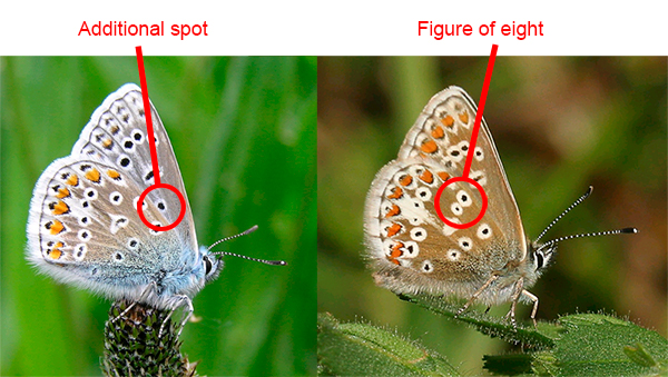 Common Blue  left  and Northern Brown Argus  right. UK Butterflies   Similar Species