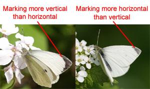 uk butterflies large white pieris brassicae